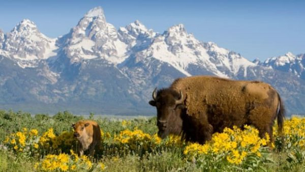Image of Buffalo standing in prairie before snow-capped mountains